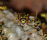 Osy gniazdeczko z osami siedzi na nim Osy polist gniazdeczko rodzina której biorą zakończenie osy Obrazy Stock