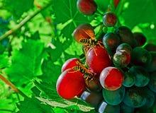 Osy i winogrona fotografia royalty free