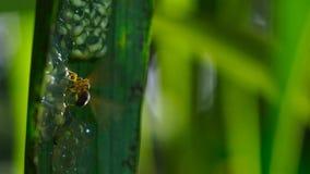 Osy napadanie i łasowań tadpoles szklanej żaby żaby szklani jajka zdjęcie royalty free