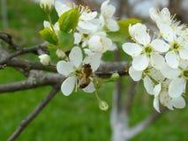 Osy obsiadanie na czereśniowego drzewa okwitnięciu Zdjęcie Stock