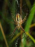 osy pająk zakrywająca wczesnego poranku rosa zdjęcie stock