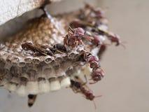 Osy Pracuje w gniazdeczku Fotografia Stock