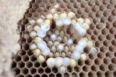 Osy są insektem wewnątrz na gniazdeczko Fotografia Royalty Free