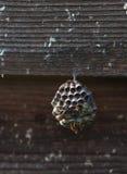 Osy ` s gniazdeczko na drewnianej ścianie Fotografia Stock