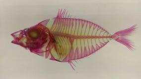 osynlig fisk arkivbild