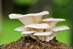 Osyster蘑菇 库存图片