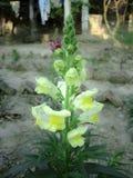 Oszałamiająco żółty snapragon kwiatu okwitnięcie w parka także onown jako Antirrhinum i smok kwitniemy zdjęcia stock