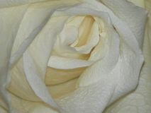 Oszałamiająco biel róży piękno fotografia stock