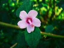 Oszałamiająco różowy Urena lobata kwiatu okwitnięcie w dzikim onown jako Caesarweed także zdjęcie stock
