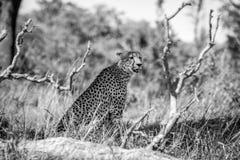 Oszałamiająco gepard w Kruger parku narodowym, Południowa Afryka Obrazy Stock