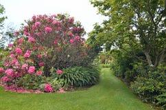 Oszałamiająco gorących menchii Magnoliowy drzewny kwiecenie w pełnym kwiacie zdjęcia stock