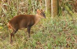 Oszałamiająco jelenia Muntjac Muntiacus reevesi Jeleni karmienie na wyspie po środku jeziora Zdjęcie Royalty Free