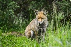 Oszałamiająco męski lis w długiej luksusowej zielonej trawie lata pole Obraz Royalty Free