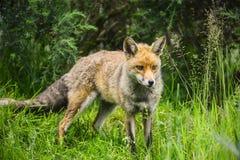 Oszałamiająco męski lis w długiej luksusowej zielonej trawie lata pole Obrazy Royalty Free