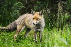 Oszałamiająco męski lis w długiej luksusowej zielonej trawie lata pole Zdjęcie Stock