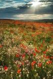 Oszałamiająco maczka pola krajobraz w lato zmierzchu świetle zdjęcie royalty free