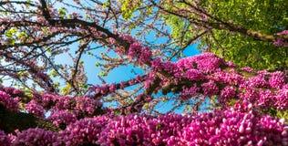 Oszałamiająco mangenta kwitnie na drzewie w parku obraz royalty free