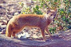 Oszałamiająco mangusta Obraz Royalty Free
