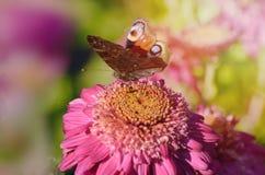 Oszałamiająco Pawi motyl, Aglais io na chryzantema kwiacie w ranku świetle słonecznym, Obraz Stock