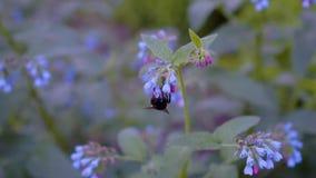 Oszałamiająco piękny w górę bumblebee zbierackiego miodu na pięknych kwiatach naturalne pi?kno Insekty w g?r? zbiory