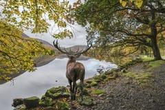 Oszałamiająco potężny czerwonego rogacza jeleń patrzeje out przez jezioro w kierunku mo zdjęcie stock
