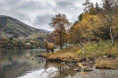 Oszałamiająco potężny czerwonego rogacza jeleń patrzeje out przez jezioro w kierunku mo obraz royalty free