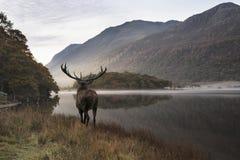 Oszałamiająco potężny czerwonego rogacza jeleń patrzeje out przez jezioro w kierunku mo obraz stock