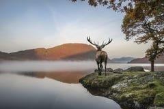 Oszałamiająco potężny czerwonego rogacza jeleń patrzeje out przez jezioro w kierunku mo fotografia royalty free