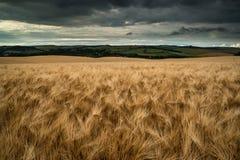 Oszałamiająco pszenicznego pola krajobraz pod lato zmierzchu burzowym niebem Zdjęcia Royalty Free