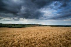 Oszałamiająco pszenicznego pola krajobraz pod lato zmierzchu burzowym niebem Obrazy Stock