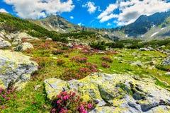 Oszałamiająco różowy różanecznik kwitnie w dolinie, Retezat, Carpathians, Rumunia Fotografia Stock
