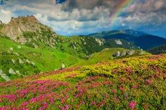 Oszałamiająco różowy różanecznik kwitnie w górach, Ciucas, Carpathians, Rumunia zdjęcie stock
