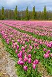 Oszałamiająco tulipanu pole w wiosna holendera typowym krajobrazie Zdjęcia Stock