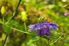 Oszałamiająco, w zawiły sposób i piękny barwiący kwiat, wiesza na długim, pełzającym winogradzie w luksusowym Tajlandzkim ogródzi zdjęcie stock