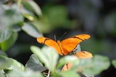 Oszałamiająco widok pomarańczowy Julia motyl Zdjęcie Royalty Free