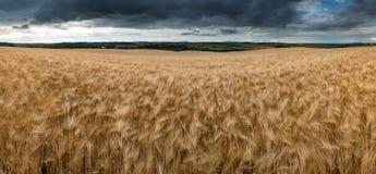 Oszałamiająco wieś krajobrazu pszeniczny pole w lato zmierzchu zdjęcie stock