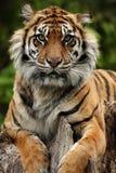 oszałamiający zbliżania tygrysa Obraz Stock