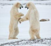 Oszczędnie niedźwiedzie polarni Walczący niedźwiedzie polarni na śniegu (Ursus maritimus) obrazy stock