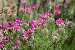 Oszczędzanie nadmorski lat Armeria maritima młyn vulgaris Willd w kwiatu łóżku w parku fotografia stock