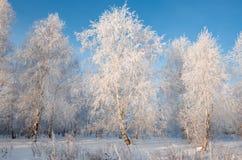 Oszrania na drzewach Fotografia Royalty Free