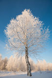 Oszrania na drzewach Zdjęcia Royalty Free