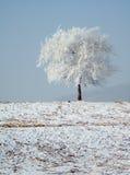 oszraniający drzewo Obrazy Stock