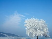oszraniający drzewo Obrazy Royalty Free