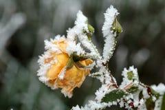 oszroniona kolor żółty róża w ogródzie obrazy royalty free