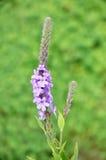 oszroniony stricta verbena vervain wildflower Zdjęcia Royalty Free