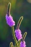 Oszroniony Vervain Wildflower Zdjęcia Stock