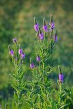 Oszroniony Vervain Wildflower Obraz Stock