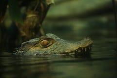 otäck caiman Royaltyfri Foto