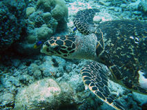 otäck sköldpadda Arkivfoto