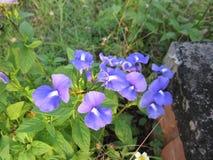 Otacanthus caeruleus eller amasonblåttblomma Arkivbild